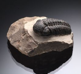 Trilobite / Phacops