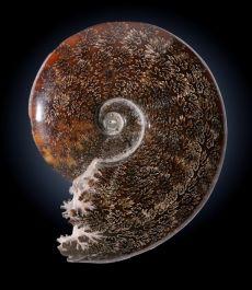 "7.5"" Whole Ammonite"