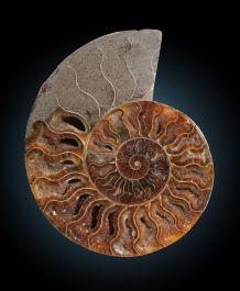 "6.25"" Ammonite"