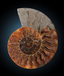 "6.25"" Ammonite from Madagascar"