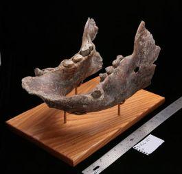 Rare Giant Sloth Jaw