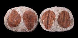 Pair of Trilobites (Cambropallas telesto)