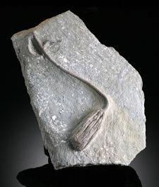 Large Inadunate Crinoid from Indiana