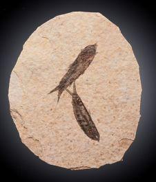 Fossil Fish / Double Specimen