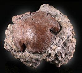 Ceratopsian Hoof Core