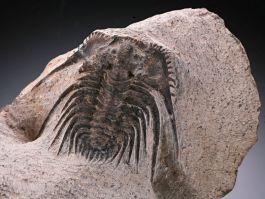 """Trilobite """"Leonaspis"""""""