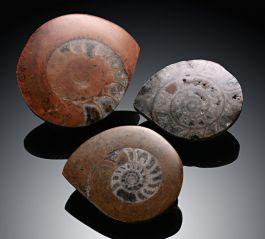 "2""-3"" Small Ammonites"