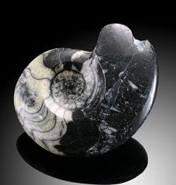 "1.5""-3"" Goniatites Fossils"