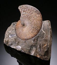 """4"""" Placenticeras Ammonite"""