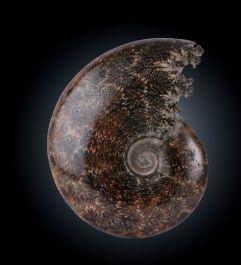 """5"""" Polished Ammonite"""