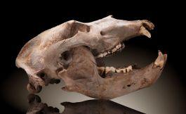 """Fossil Cave Bear Skull """"Ursus spelaeus"""""""