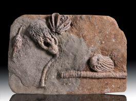 Small Indiana Crinoid Mass Mortality Plate