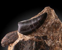 Rare Torvosaurus Tooth in Bone & Rock Matrix