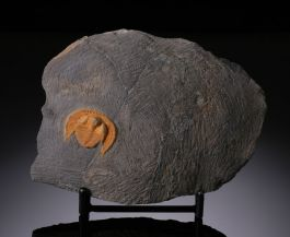 Trilobite Nankingolithus