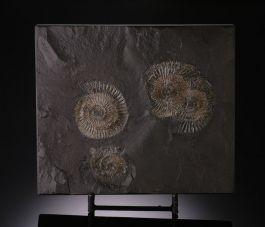 Pyritized Ammonites / Holzmaden Germany w/ Display Stand