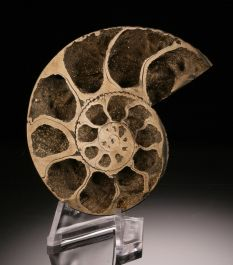 "2-3/4"" Pyritized Ammonite with stand"