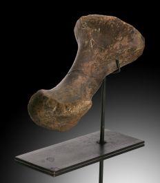 Anchelousaurus Metatarsal (Toe Bone)
