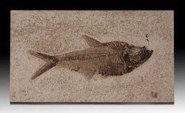 """6-1/2"""" Diplomystus Fish Plate"""
