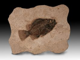 Priscacara Fossil with Wall Mount