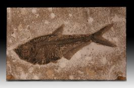 Diplomystus Fish Plate