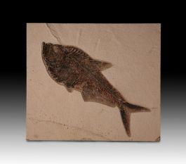 Single Diplomystus Fossil Fish Plate