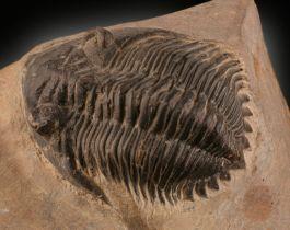 Drotops Megalomanicus Trilobite