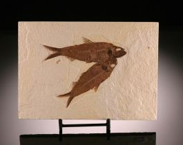 2 Knightia eocaena Fossil Fish w/ stand