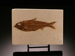 Wyoming  Knightia eocaena Fossil Fish w/ stand