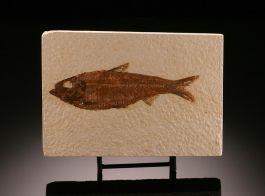Wyoming  Knightia eocaena Fossil Fish w/ stand