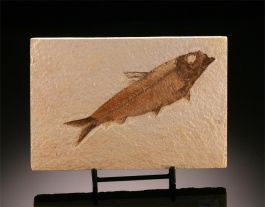 Knightia eocaena Fossil Fish from Wyoming w/ stand