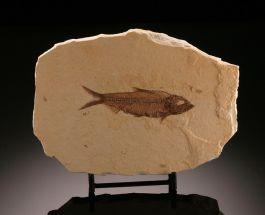 Knightia eocaena Fossil Fish w/ stand