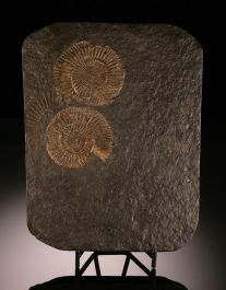 Pyritized Ammonites, Germany / with Stand