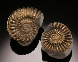 Pyritized Ammonite Pair- Germany