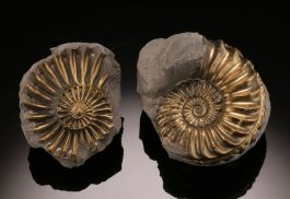 Pair of Pyritized Ammonite, Germany