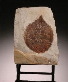 Single Davida Antiqua Leaf (with stand)