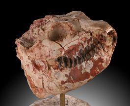 Oreodont Lepiauchenia Skull