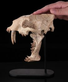 Museum Grade Hoplophoneus Skull