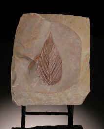 Celtis aspera, Hackberry (with stand)
