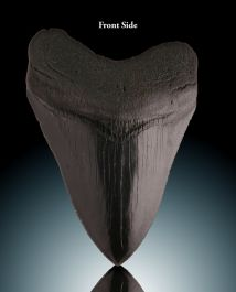 "Black Megalodon Tooth (4-1/8"")"