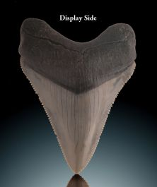 "2-1/4"" Megalodon Tooth"