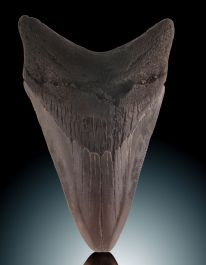 "3-3/4"" Megalodon Tooth"