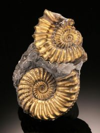 Double Pleuroceras Pyritized Ammonite