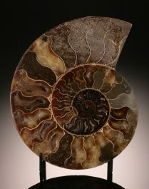 "7-1/2"" Ammonite Slice (with stand)"