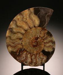 "6-3/4"" Ammonite Slice (with stand)"