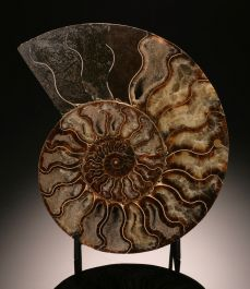 "8-1/4"" Ammonite Slice (with stand)"