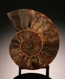 "5-1/2"" Ammonite Slice (with stand)"