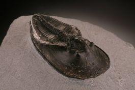 Trilobite Aristoharpes