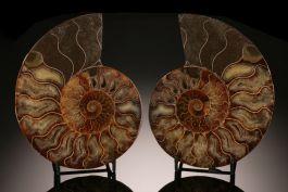 """6-1/2"""" Ammonite Slice Pair (with stand)"""