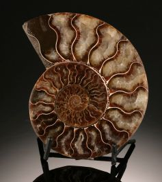 "4-1/4"" Ammonite Slice (with stand)"