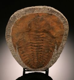 Cambropallas Trilobite (with stand)